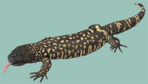 mexican beaded lizard facts adw heloderma horridum information