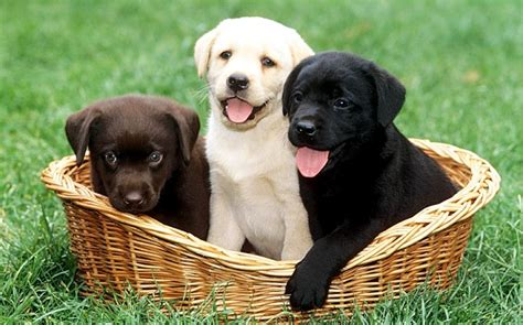 different puppies how to educate a labrador or puppy