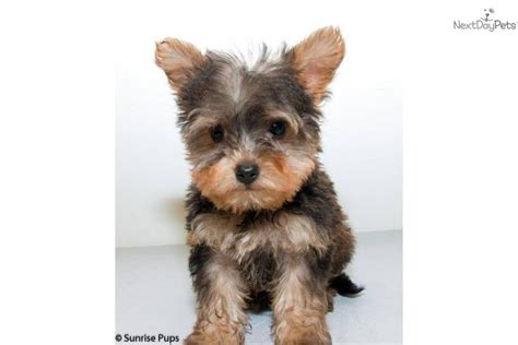 yorkie poo puppies for sale in louisiana miniature yorkie puppies for sale in louisiana breeds picture