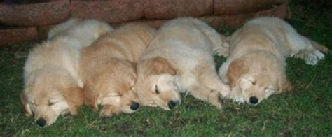 golden retriever puppies for sale in rochester mn samoyed golden retriever puppies for sale dogs our friends photo