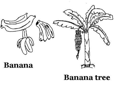 Free Coloring Pages Of Mango Tree Drawing Banana Tree Coloring Page