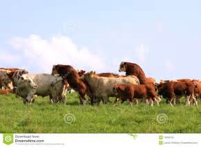 esel beim decken mating cow and bull stock photos image 10358153