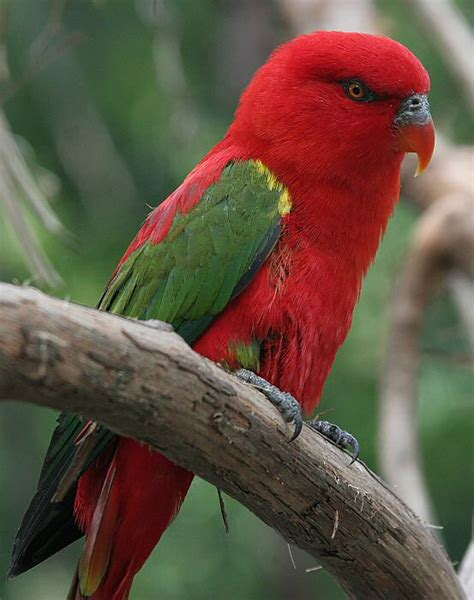 chattering lory birds wallpaper bird and bird