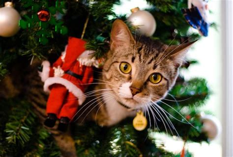 funny cats in christmas trees tree ornaments invitation template