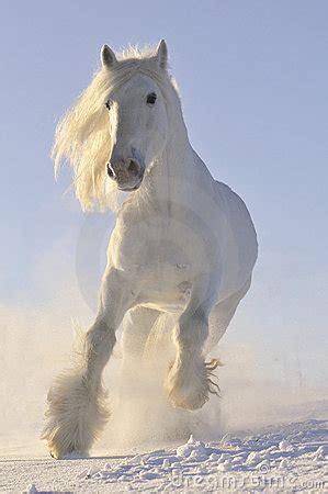 white horse run gallop  winter royalty  stock image