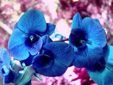 blue orchid blue orchid the color blue