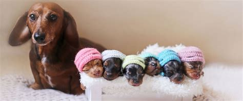 dachshund puppies sc dachshund puppy photo shoot is so doggone abc news