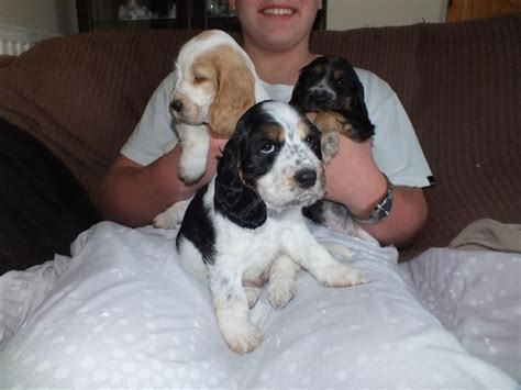 cocker spaniel puppies for sale in cocker spaniel puppies for sale gaerwen isle of anglesey pets4homes