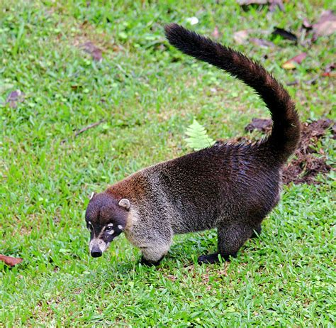 kudamundi animal what are the sizes coati next door zoo