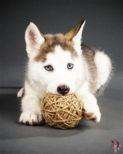 husky puppies denver studio pet photography on pet photography portraits and siberian husky