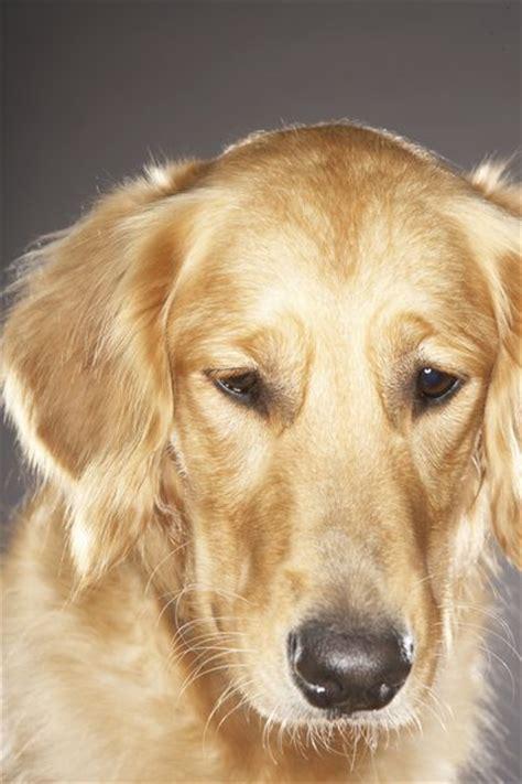 degenerative myelopathy golden retriever degenerative myelopathy in golden retriever dogs pets