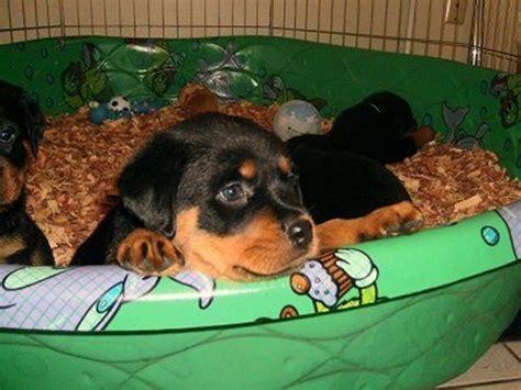 arizona rottweiler breeders and rottweiler puppies animals arizona city arizona