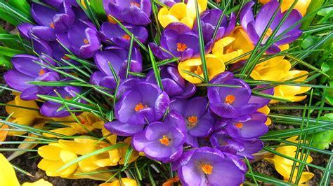 crocus spring flowers yellow  purple color hd wallpapers  mobile phones  computer