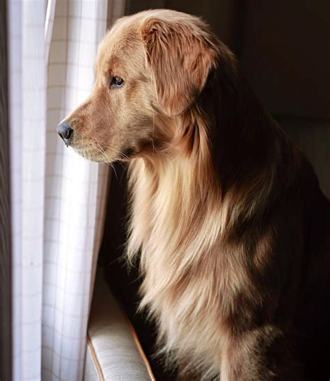 are golden retrievers guard dogs as 10 melhores ideias de golden retrievers no filhote de golden retrievers
