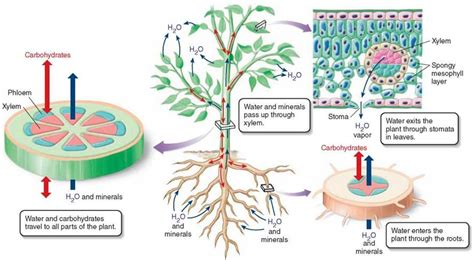 xylem carbohydrates water movement plant form and function plant