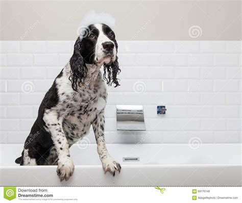 dog in bathtub adorable springer spaniel dog in tub stock photo image