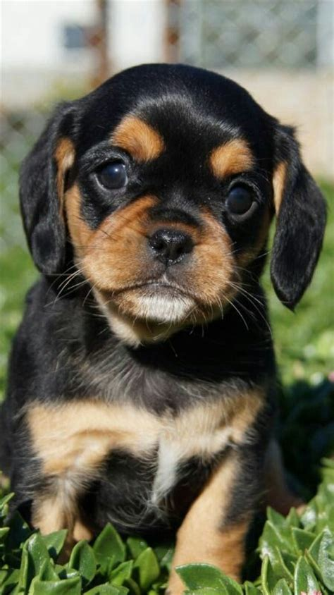 black and brown pug pugalier pug cavalier hybrid what s brown black all this