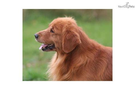 sunfire golden retrievers meet rizzo a golden retriever puppy for sale for 1 500 4 year