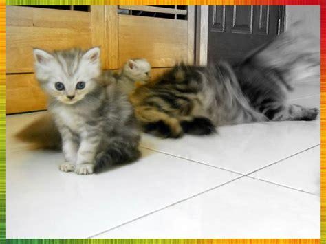 Suplemen Untuk Kucing kucing parsi untuk dijual huxley sold
