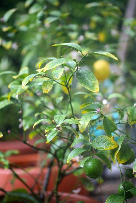 backyard lemon tree backyard potted citrus trees my life at playtime