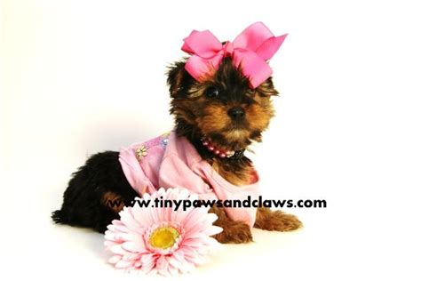 free teacup yorkies houston tx akc yorkie puppies for sale for sale in houston pets of breeds picture