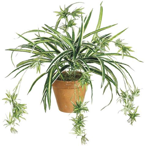 spider plant five quot brown thumb quot approved house plants albuquerque florist