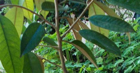 Bibit Durian Bawor Cirebon bibit durian kaki tiga harga kaki empat pd mekar tani abadi