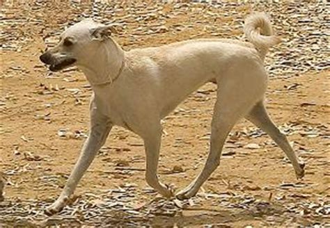 dogs with curly tails and floppy ears medium breeds with hair and curly tails and floppy ears