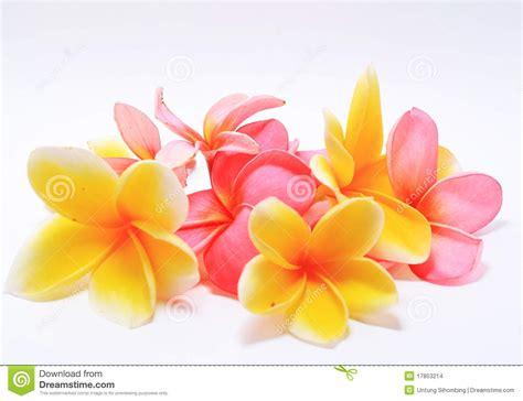 design bunga kamboja frangipani flowers stock images image 17853214