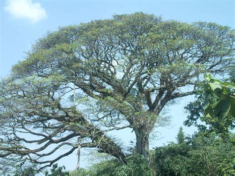 file acacia tree jpg wikimedia commons