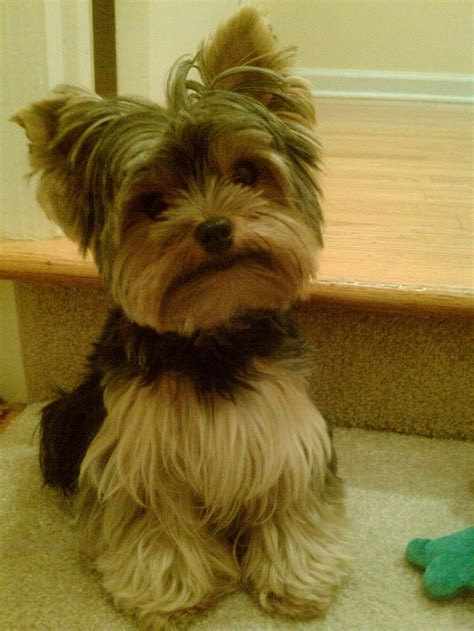 tiny yorkie haircuts just cute little fargo yorkie hair cuts pinterest