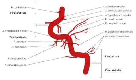 carotide interna carotid artery segments and branches epomedicine
