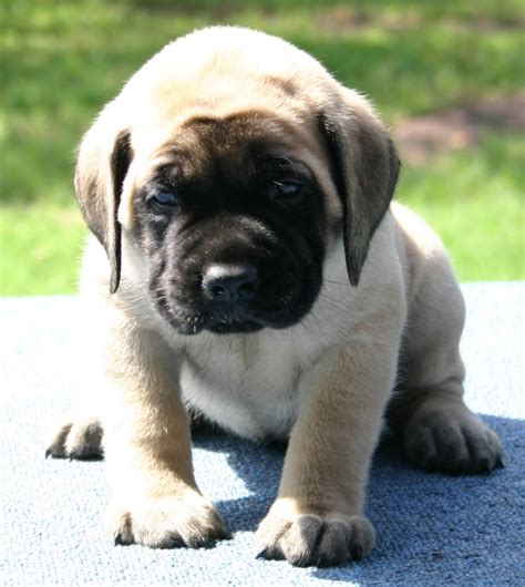 mastiff puppies for sale lakeland mastiffs in tx quality akc