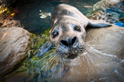 Hiasan Aquarium Orca Seal atlantic harbor seals exhibit new aquarium