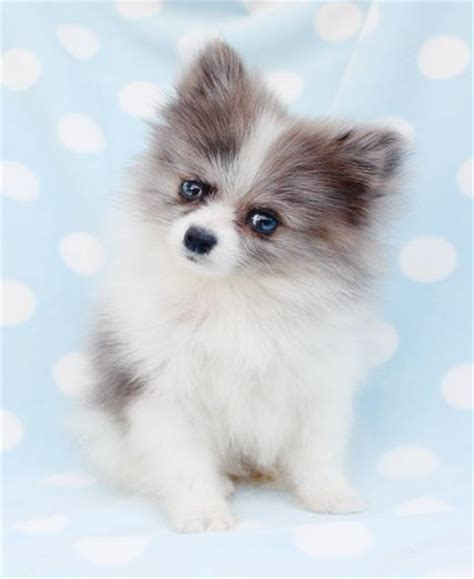 teacup pomeranian lifespan small looks like a pomeranian and husky mix breeds picture