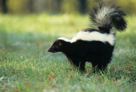 skunk smell in the house how to eliminate skunk odor in the house
