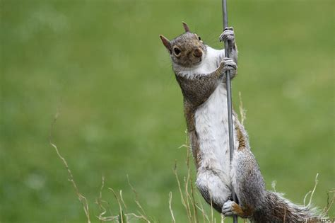 pole dancing squirrel by xxblackmagicxx on deviantart