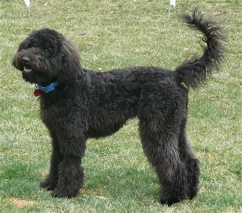 poodle terrier mix lifespan whoodle wheaten terrier poodle mix info temperament