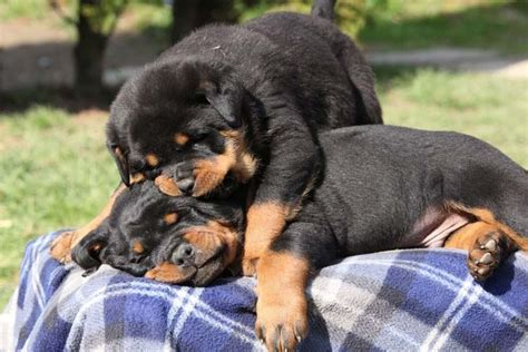 cool rottweiler names rottweiler names and names for rotties