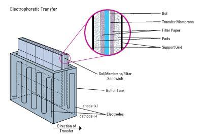 western blot cassette western blot transfer methods thermo fisher scientific