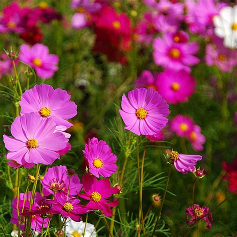 file cosmos flowers in thailand 05 jpg