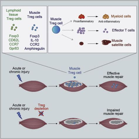 c section muscle damage a special population of regulatory t cells potentiates