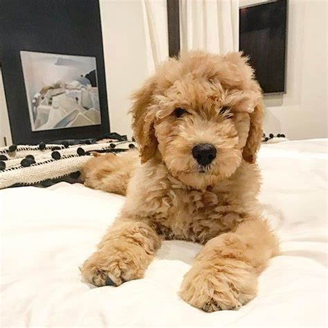 goldendoodle puppy fur 17 best ideas about goldendoodle on doodle