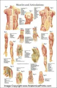 Anatomy of the human body muscles pictures to pin on pinterest