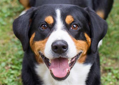 appenzeller sennenhund puppies appenzeller sennenhund breed 187 info pics more