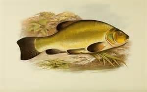 Freshwater Fish Freshwater Fish Thegentlemanangler