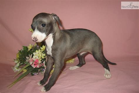 greyhound puppy for sale teacup italian greyhound puppies sale breeds picture