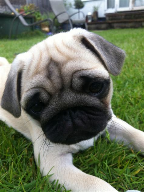 Do Pugs Shed A Lot Of Hair by Pugpugpug Does Pug Shedding Promote Or Affect