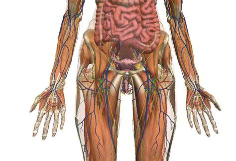 imagenes educativas del cuerpo humano zygote anatom 237 a del cuerpo humano 3d cmnsc pinterest