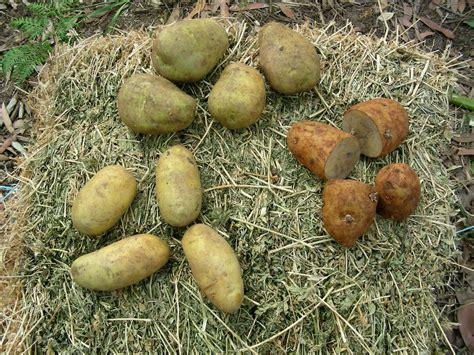 growing seed potatoes how to plant seed potatoes